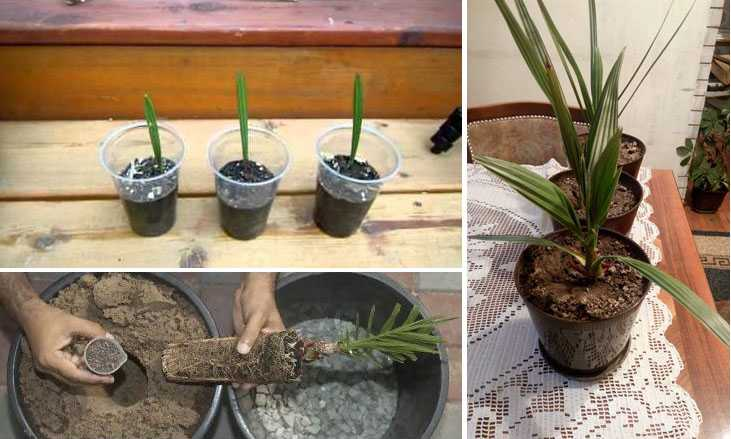 Финиковая пальма: уход в домашних условиях, как вырастить из косточки, фото