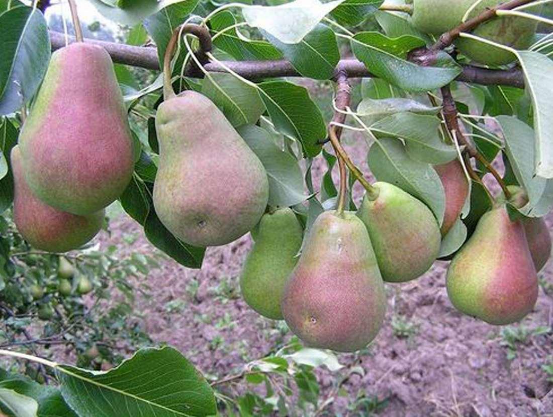 Сорт груши лада, описание, характеристика и отзывы, особенности выращивания