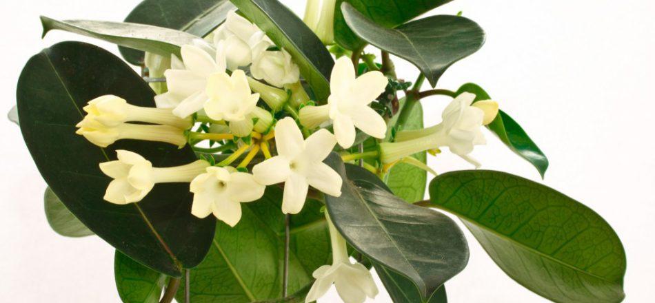 Как посадить и вырастить мадагаскарский жасмин дома: как ухаживать за цветком