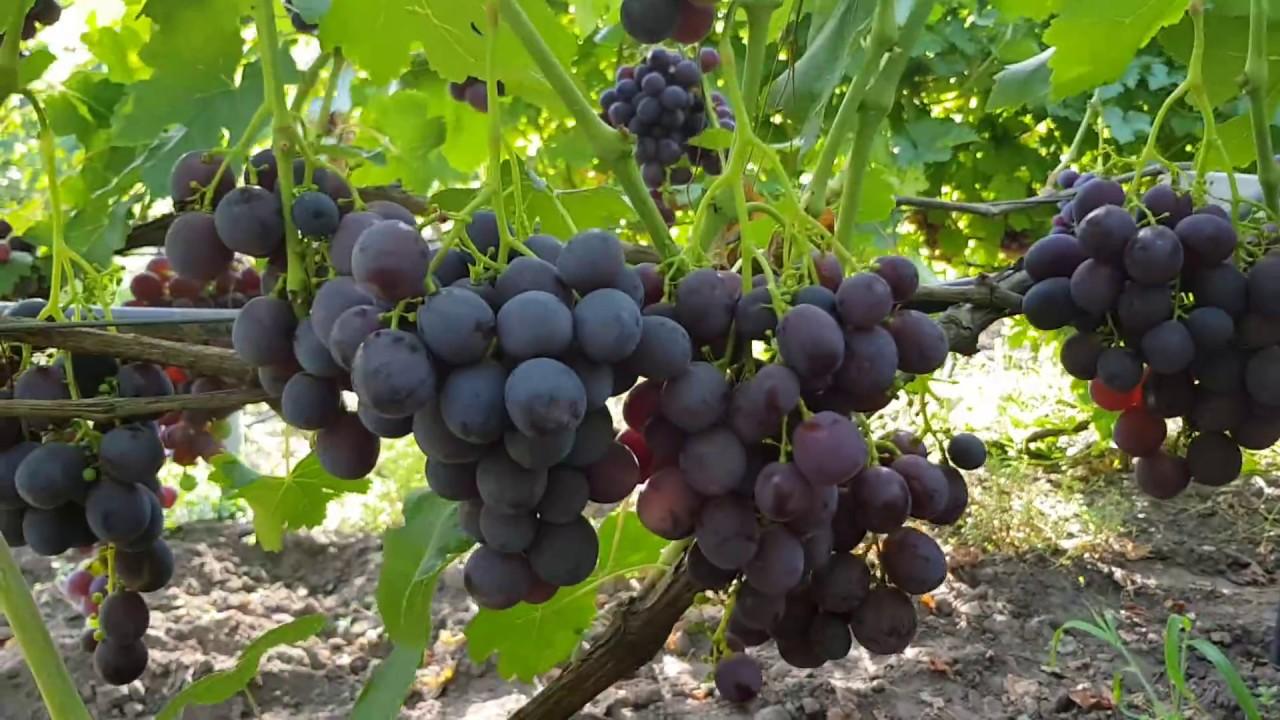 Виноград руслан: описание сорта с характеристикой и отзывами, особенности посадки и выращивания, фото