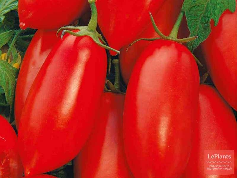 Сливки: описание сорта томата, характеристики помидоров, выращивание