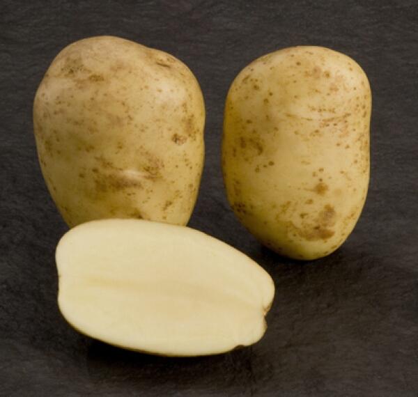 """Картофель рагнеда - описание сорта, фото, отзывы, посадка и уход - журнал """"совхозик"""""""