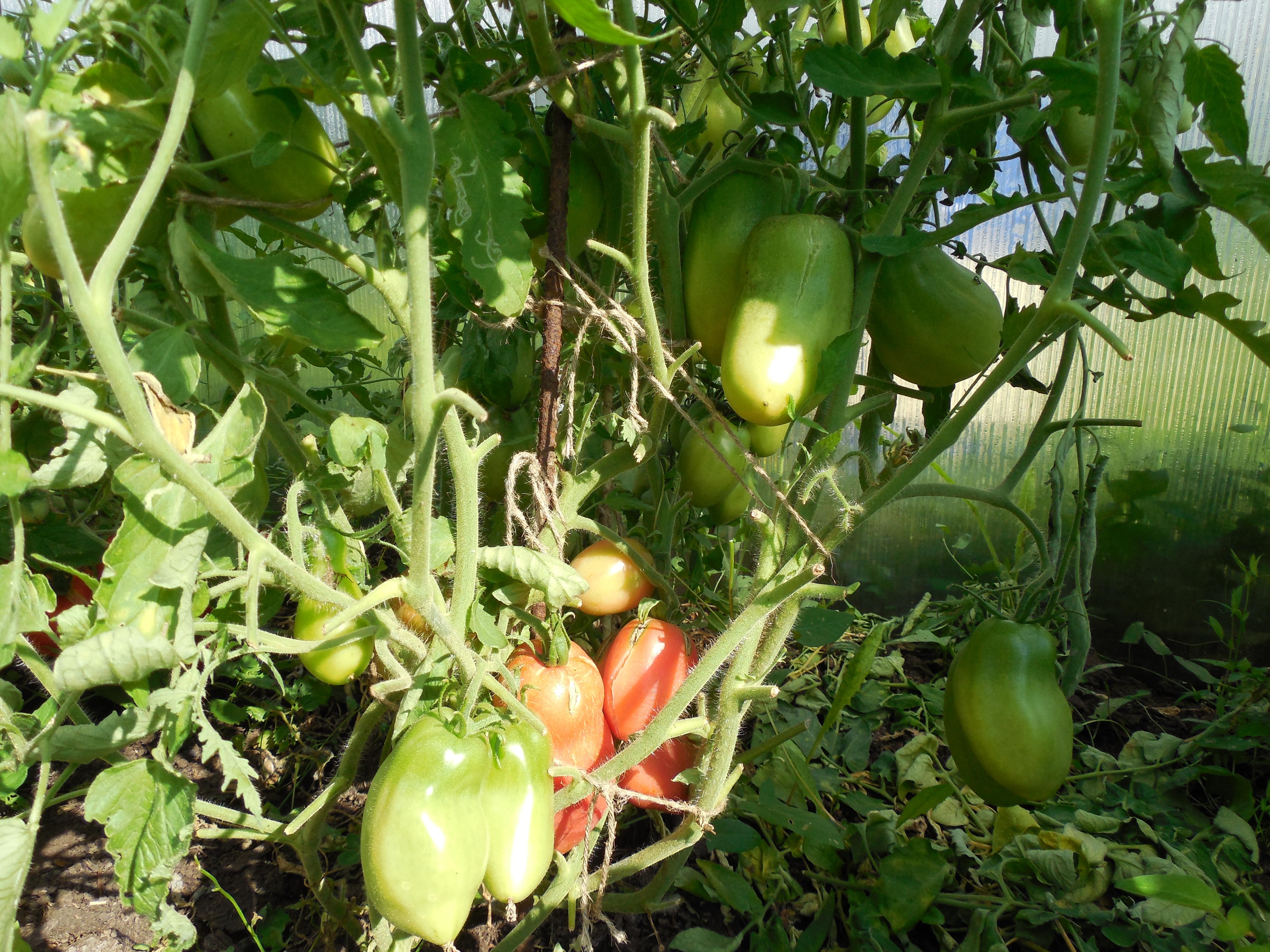 Описание сорта томата ослиные уши, его характеристика и урожайность - всё про сады