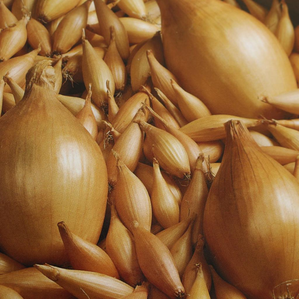 Лук «бамбергер» — описание характеристик. посадка, уход и выращивание репчатого сорта из семян и севка (фото)