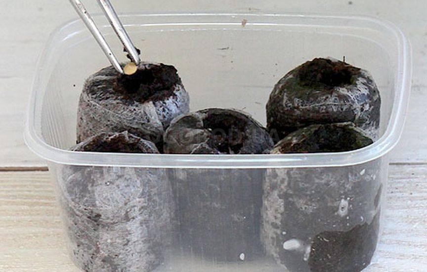 Как пользоваться торфяными горшочками для рассады