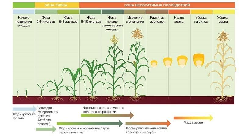 Сорта кукурузы: описание и характеристики самых урожайных гибридов с фото