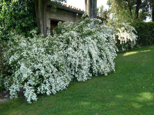 Спирея ниппонская (41 фото): описание сортов «джун брайд» и «гелвес рейнбоу», white carpet и других, обрезка после цветения