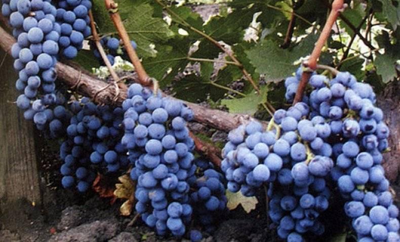 Сорта винограда молдавские. история сорта винограда молдова | дачная жизнь