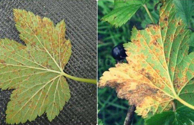 Белый налет на смородине: на листьях и ветках черной и красной – чем обработать