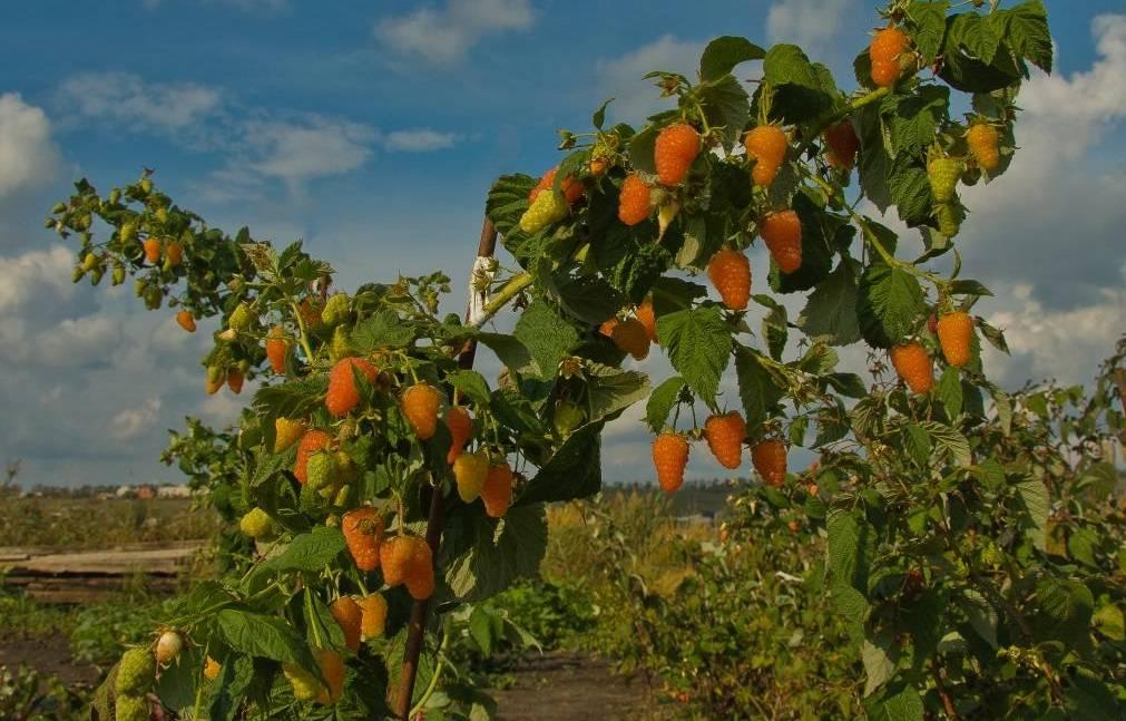 Малина оранжевое чудо: отзывы, фото, описание сорта, урожайность, морозоустойчивость, выращивание, посадка и уход, обрезка кустарника