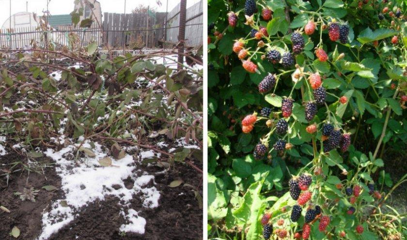Выращивание садовой ежевики в подмосковье