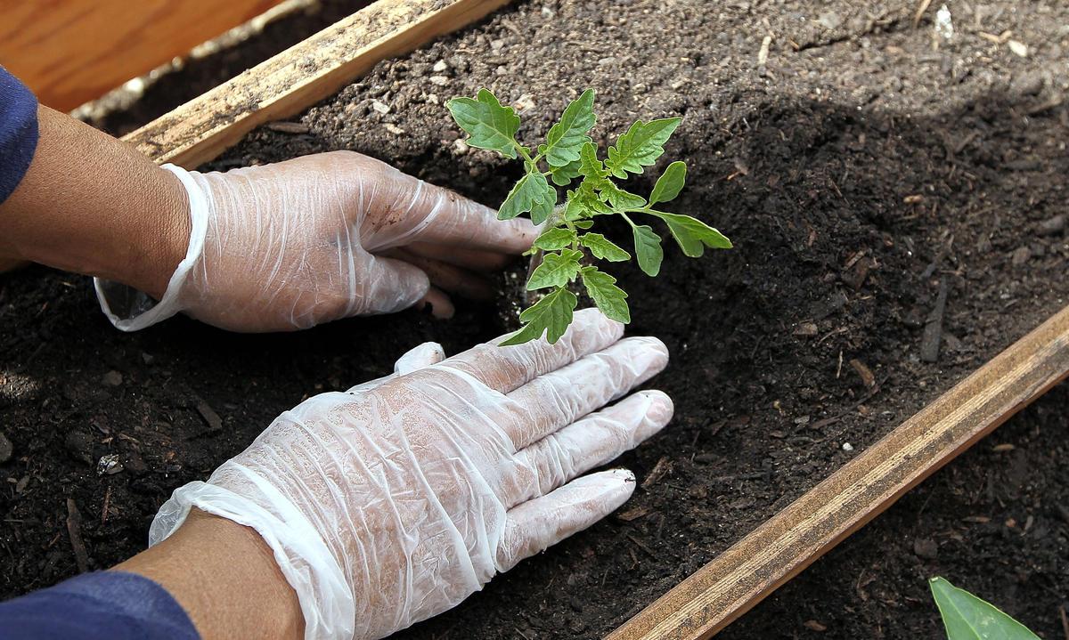 Выращивание хрена: пикантная приправа собственноручно