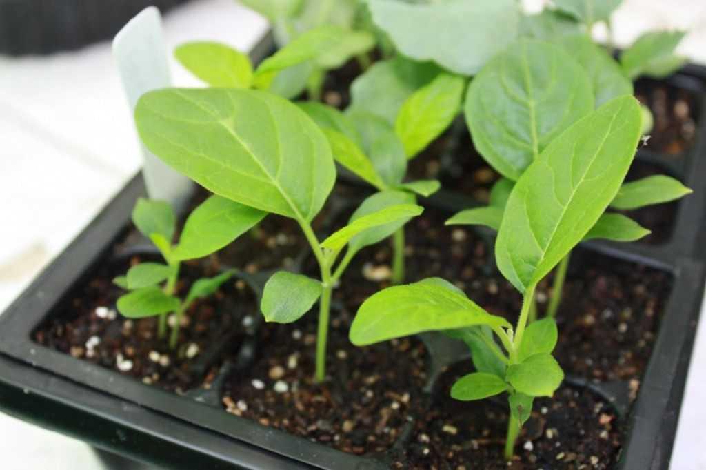 Выращиваем баклажаны: подкормка, обработка от болезней и вредителей