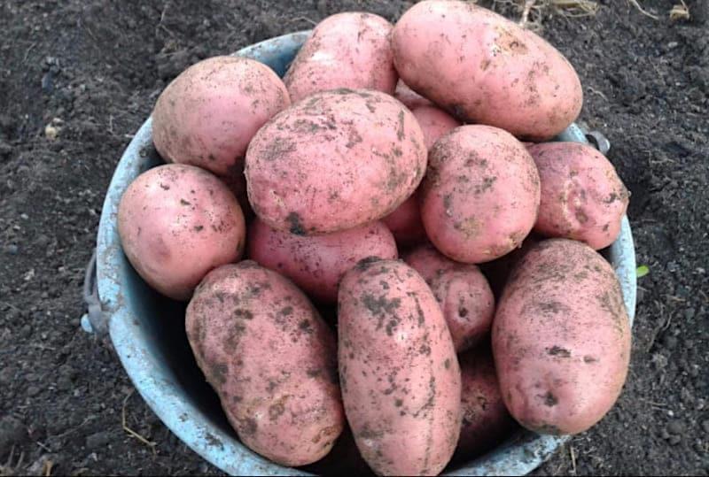 Картофель сказка – описание сорта, фото, отзывы