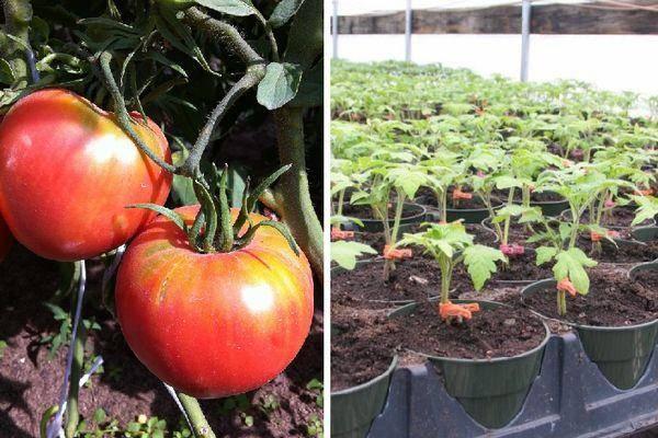 Томат супербомба характеристика и описание сорта урожайность с фото