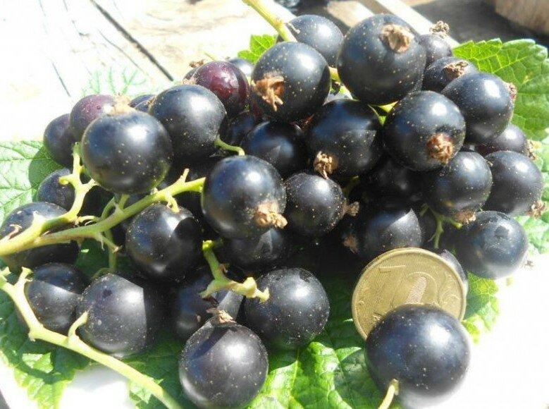 Самые лучшие сорта черной смородины: крупные, сладкие, ранние - описание, фото, отзывы