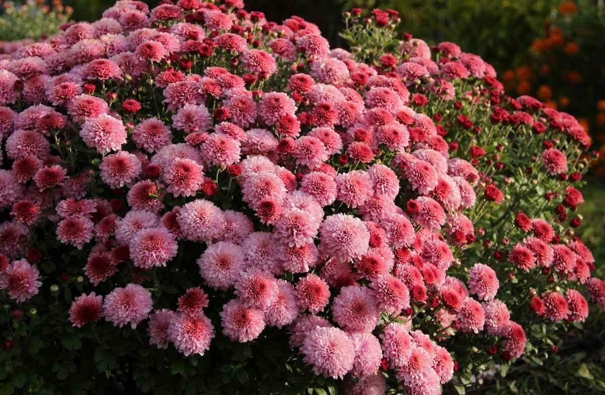 Выращивание хризантем мультифлора: правила посадки и ухода.начало.. – дачные дела