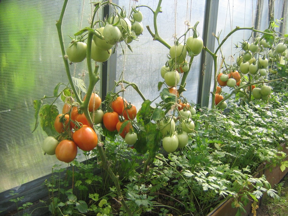 Уход за помидорами в открытом грунте от посадки до урожая, прищипывание, пасынкование