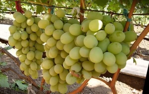 Виноград антоний великий, описание сорта