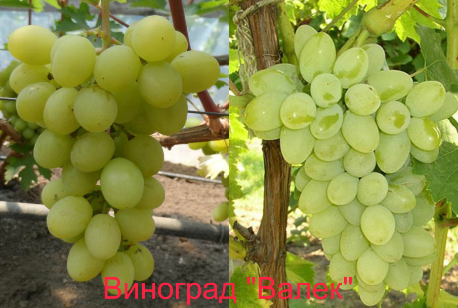Посадка винограда и уход за ним