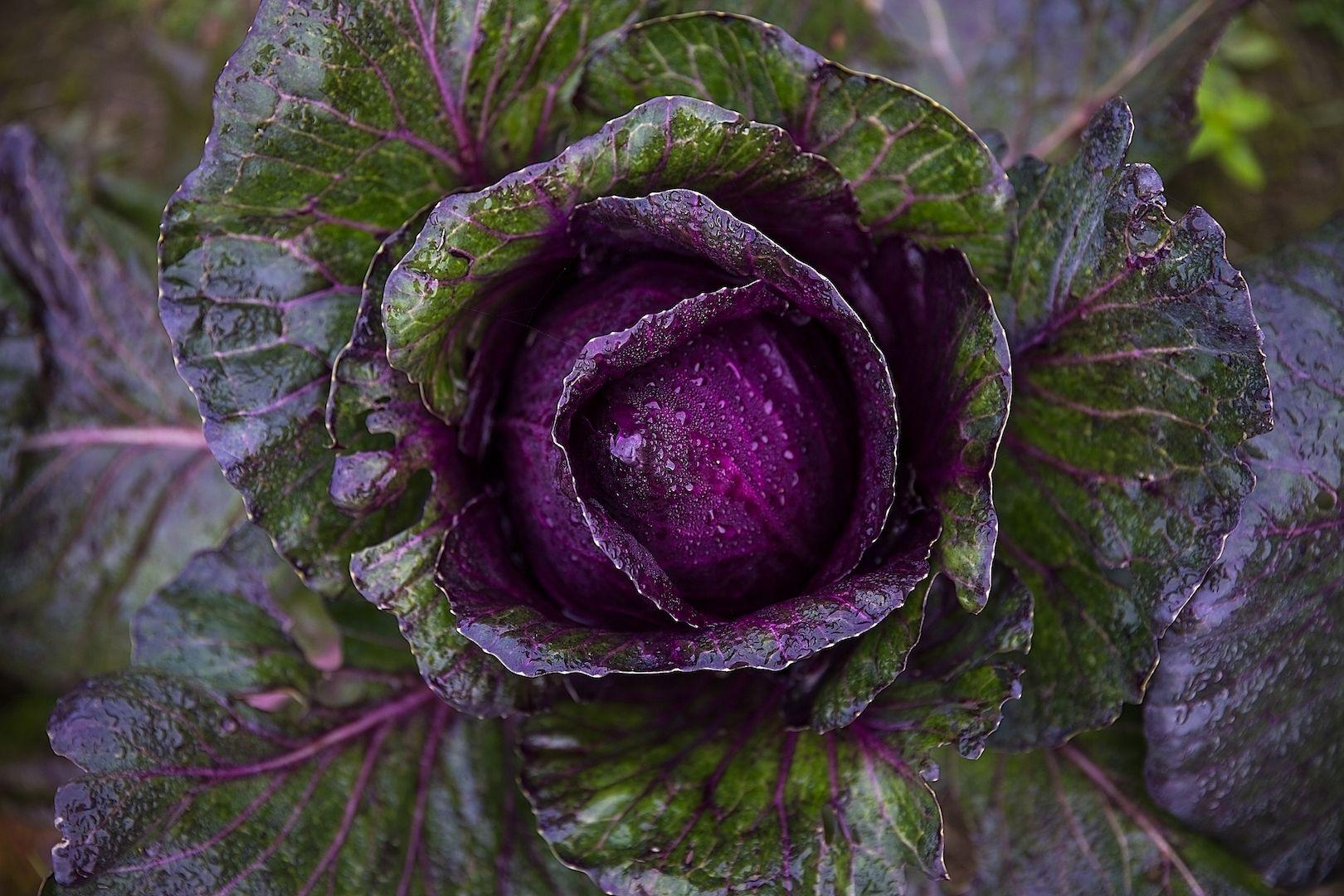 Краснокочанная капуста. полезные свойства, выращивание в открытом грунте – дачные дела