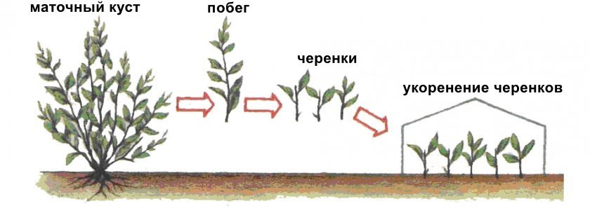 Как размножить черешню — выращивание, размножение осенью, весной и летом. 135 фото вариантов ухода
