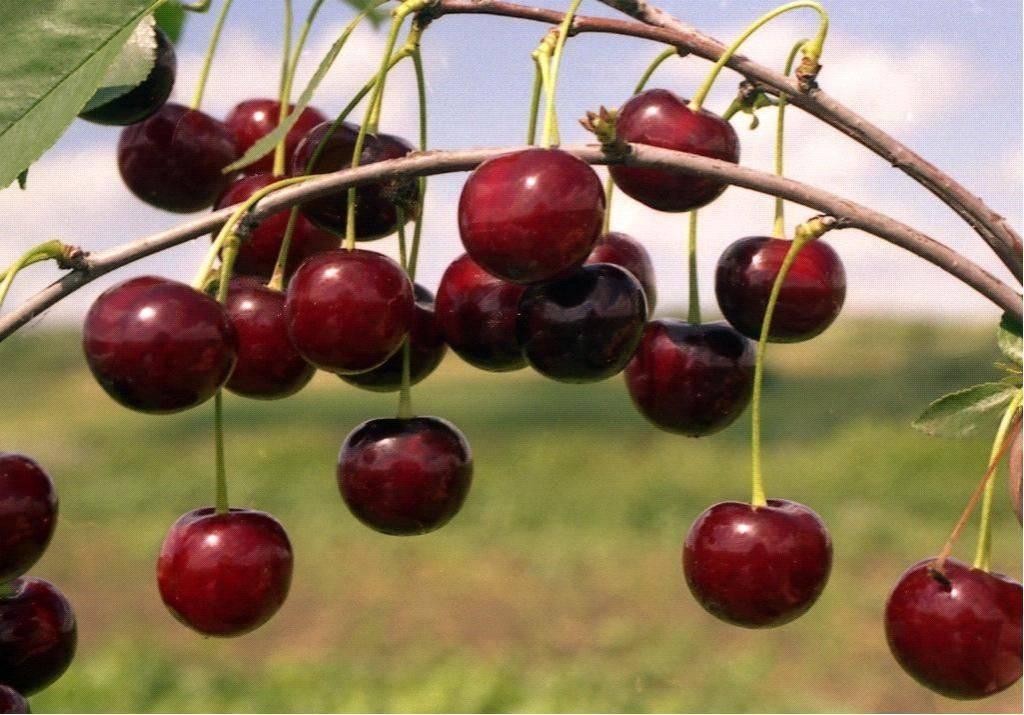 Описание 20 лучших морозоустойчивых сортов вишни, посадка и уход