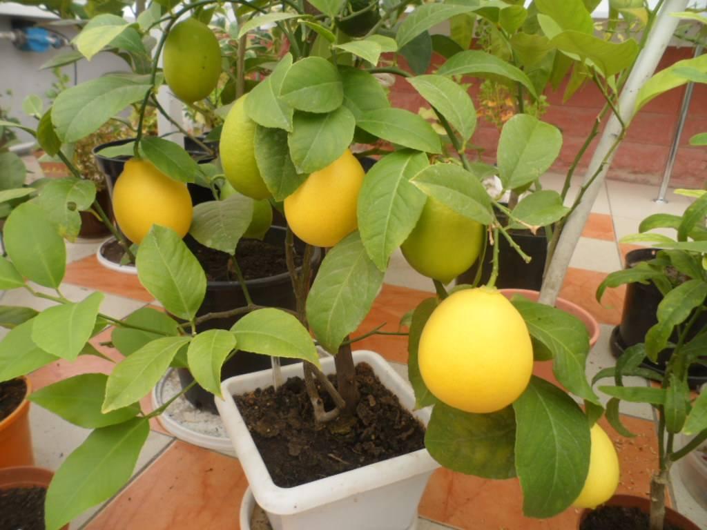 Павловский лимон: уход в домашних условиях, описание сорта и фото, а также размножение, вредители и болезни растениядача эксперт