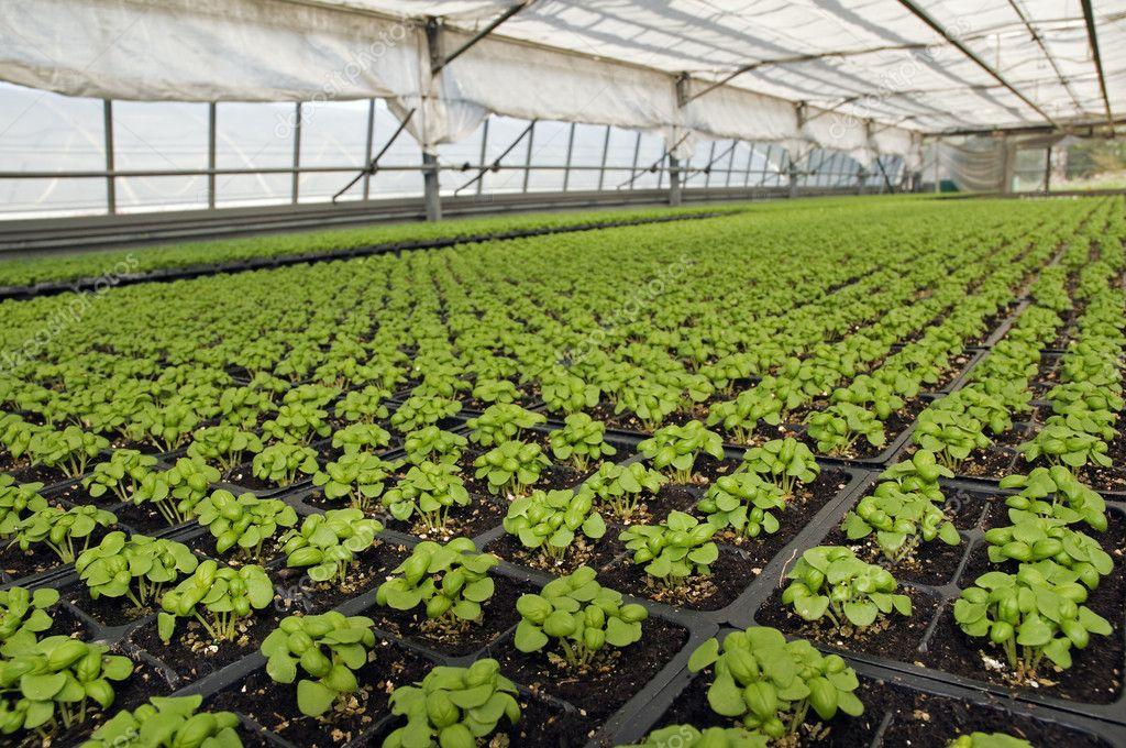 Базилик: как выращивать в теплице зимой пряную зелень?