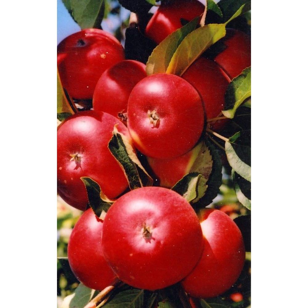 Колоновидная яблоня останкино: описание и характеристика сорта, особенности посадки и ухода, фото