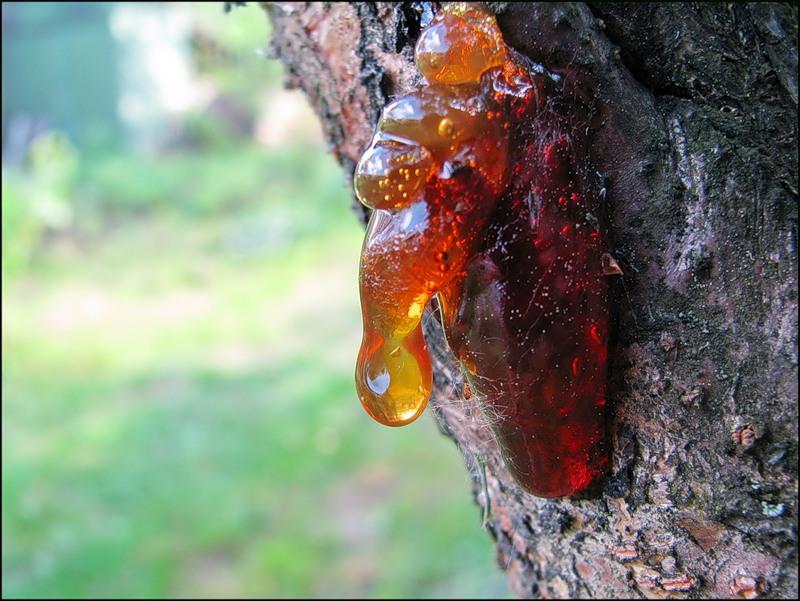 Лечение камедетечения у вишни народными средствами и химическими препаратами