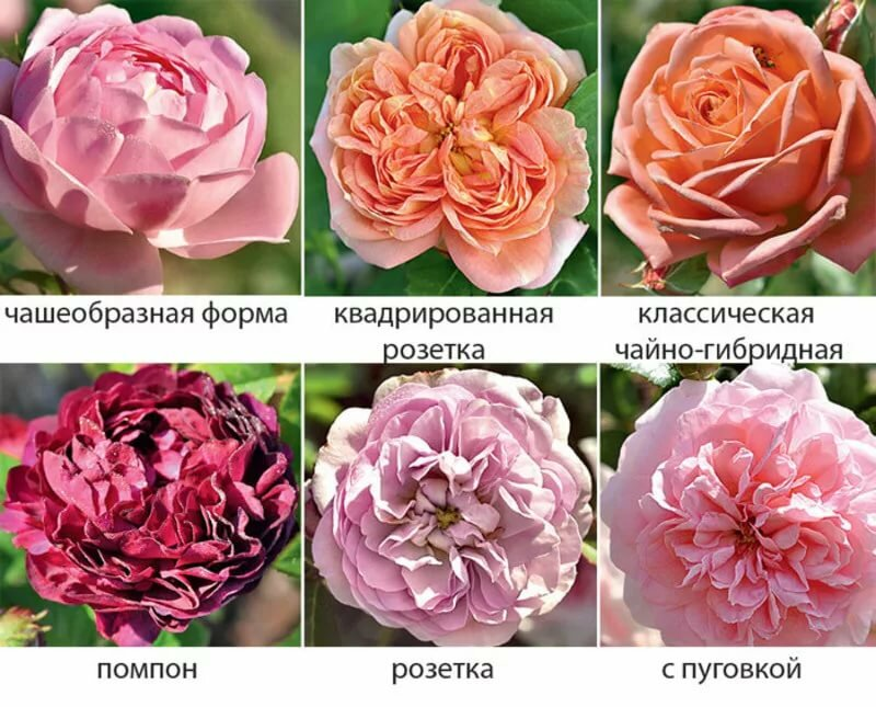 Топ-16 сортов пионовидных роз, посадка и уход за ними в открытом грунте