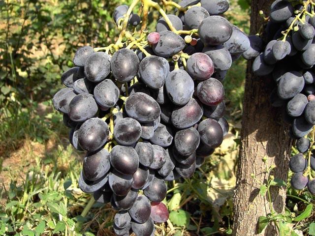 Сорт винограда кардинал азос