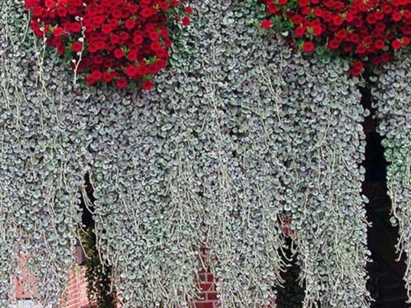 Виды и особенности ампельных комнатных растений
