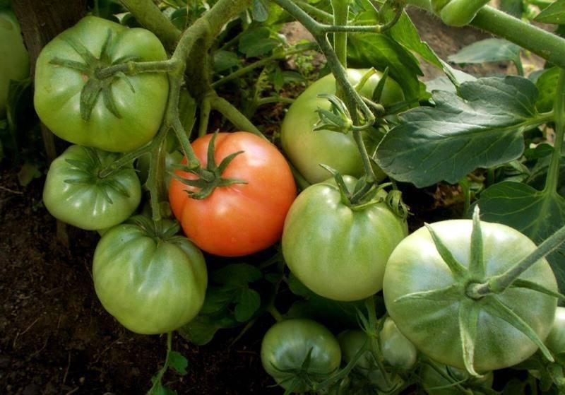 Помидоры «клуша»: описание сорта, агротехника выращивания