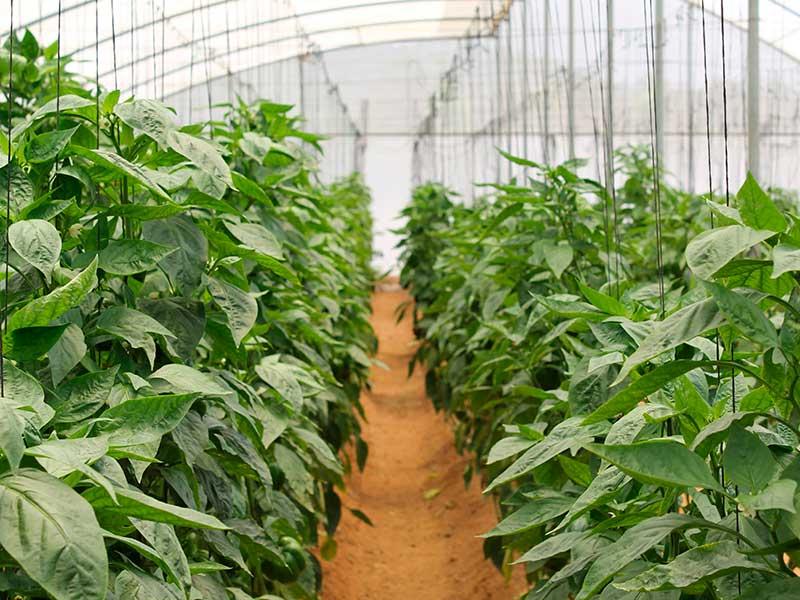 Уход за перцем в открытом грунте от посадки до урожая с видео