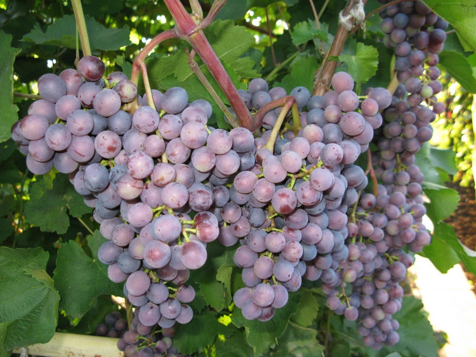 Фиолетовый ранний — старый сорт винограда для вина и для еды