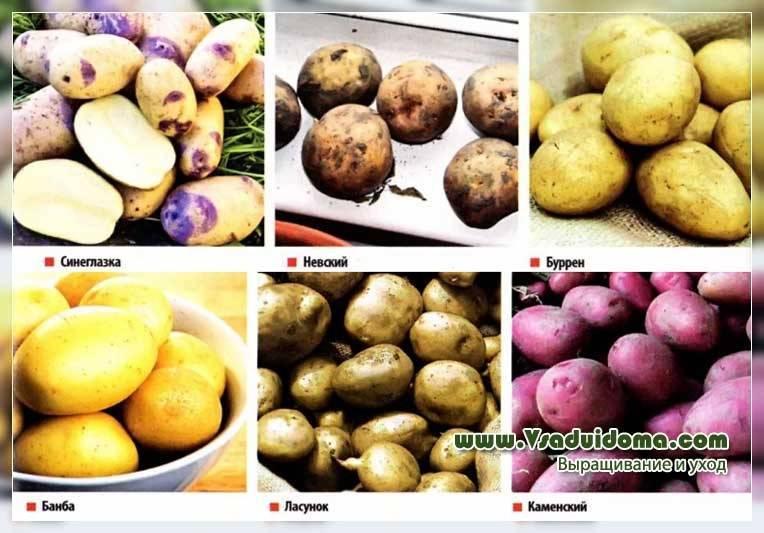 Описание и характеристика сорта картофеля Бриз, правила посадки и ухода