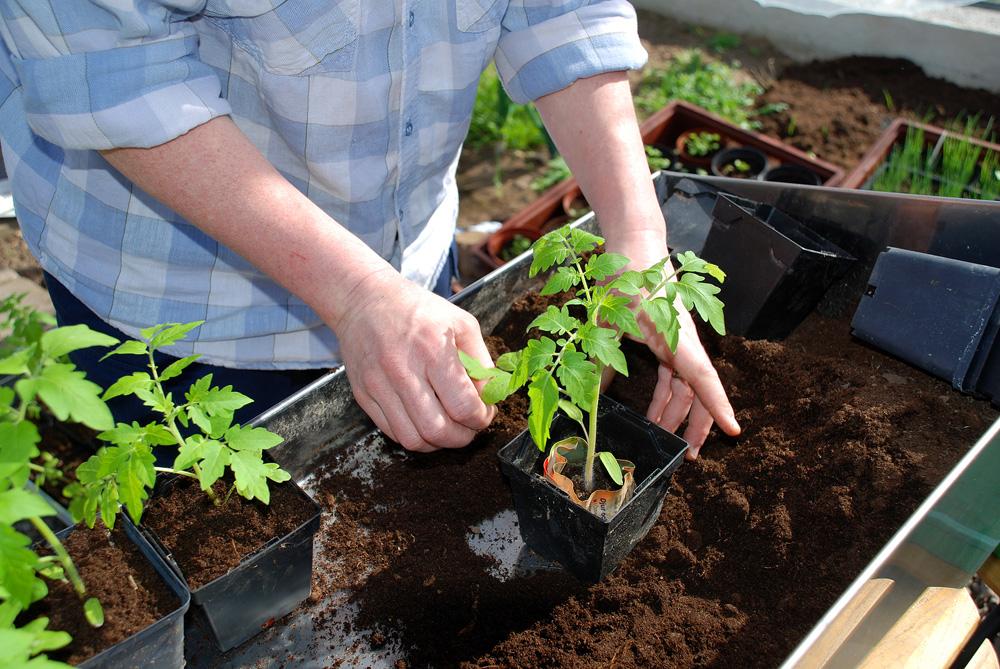 Пикировка помидор: как делается, нужно ли, как поливать до пикировки. как вырастить рассаду томатов без пикировки