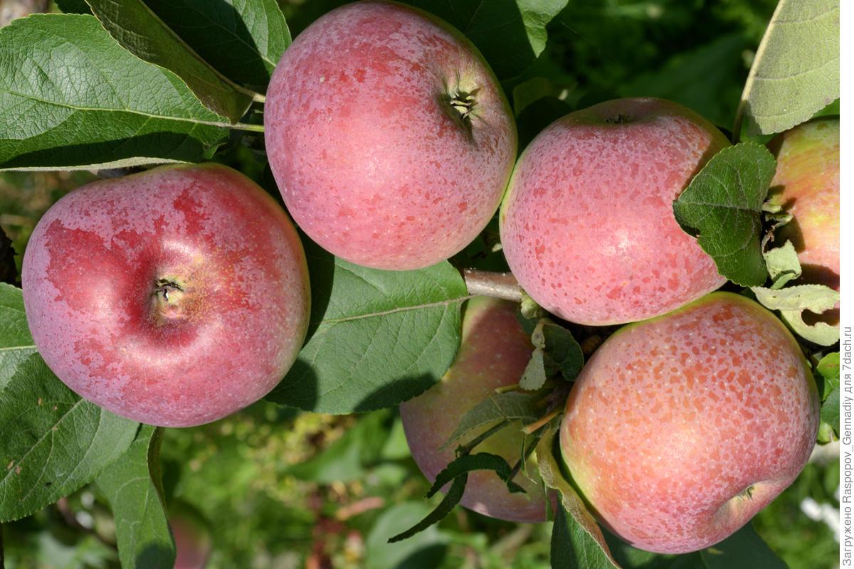Описание и характеристики сорта яблонь благая весть, посадка и выращивание