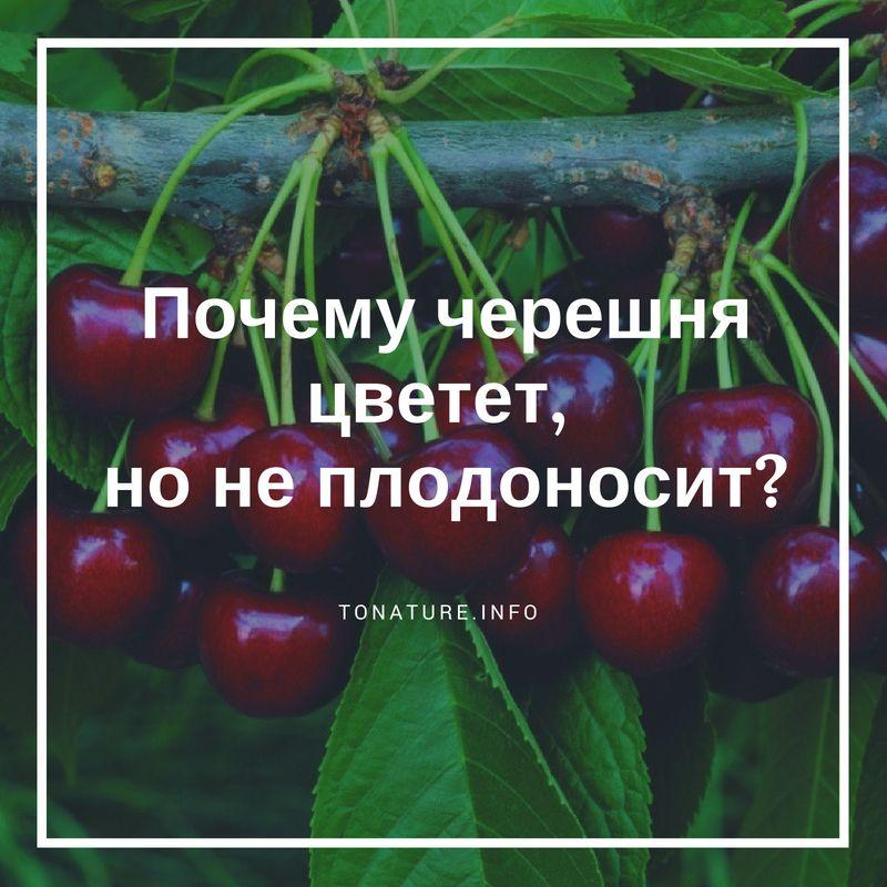 Монилиоз: почему сохнет вишня на supersadovnik.ru