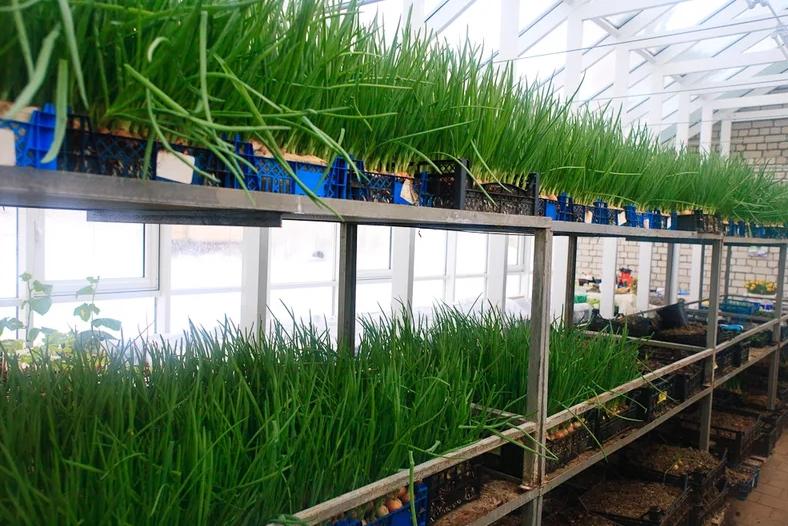 Укроп в теплице: особенности выращивания в зимнее время
