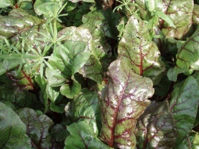 Причины, почему у капусты краснеют листья и что с этим делать