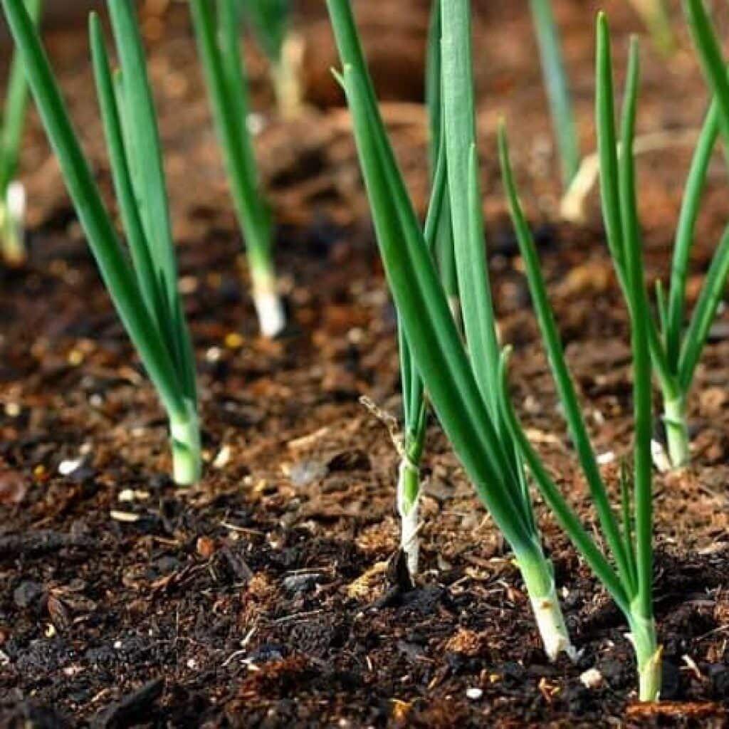 Болезни лука и чеснока | методы борьбы