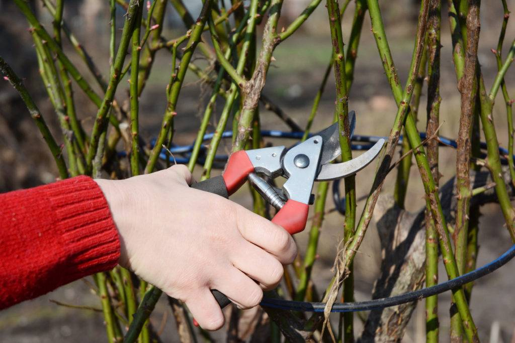 Когда лучше и как обрезать розы осенью, сроки подготовки к зимовке по регионам