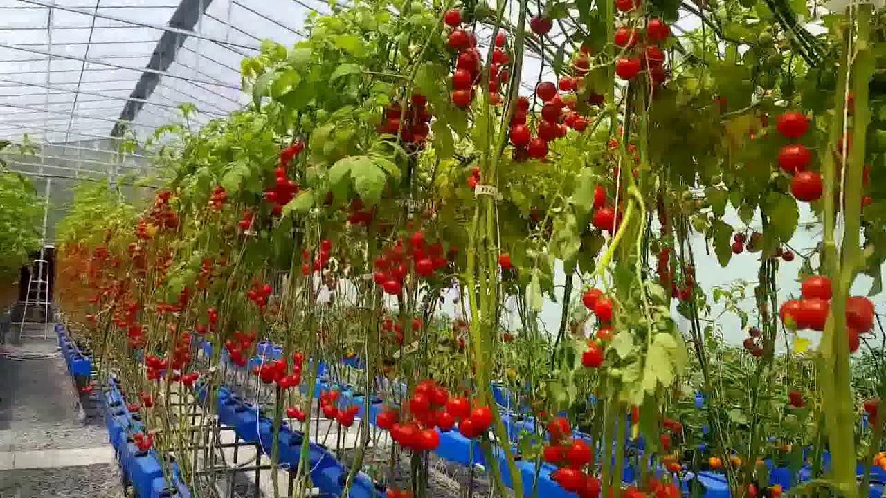 Голландская технология выращивания помидоров | растениеводство
