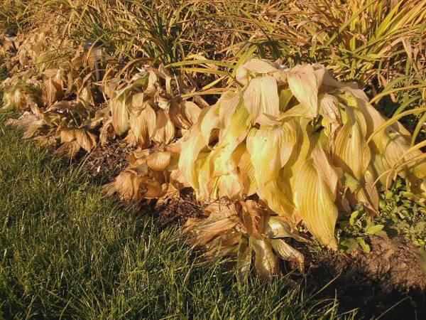 Хоста: уход осенью, подготовка к зиме, обрезка, подкормка