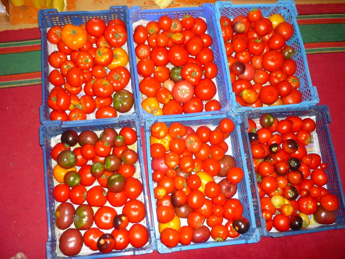 Продуктивный тепличный сорт от минусинских селекционеров — томат солдатово: описание помидоров, отзывы об урожайности