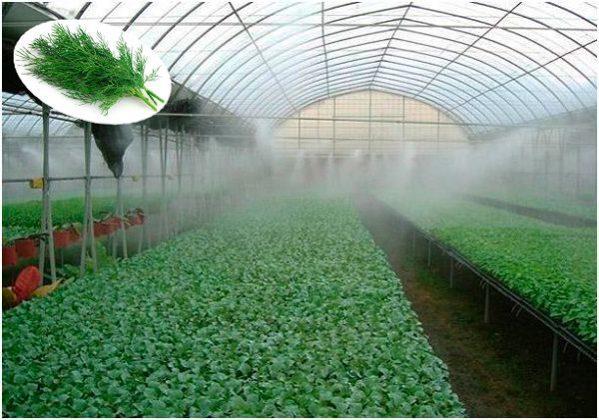 Как вырастить укроп зимой в теплице, подготовка почвы и семян особенности посадки, требования к уходу и подходящие сорта