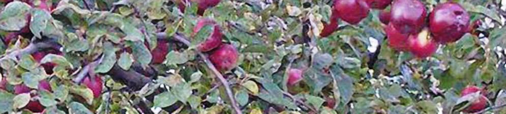 Анис: выращивание и уход в открытом грунте, посадка и размножение, сорта, фото